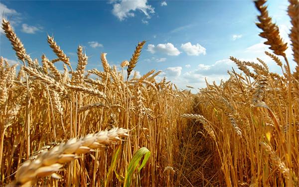 ЕСХН (Единый сельскохозяйственный налог) в 2019-2020 годы: что это такое простыми словами, порядок исчисления, НК РФ, ставки и КБК, сроки уплаты и налоговая отчетность