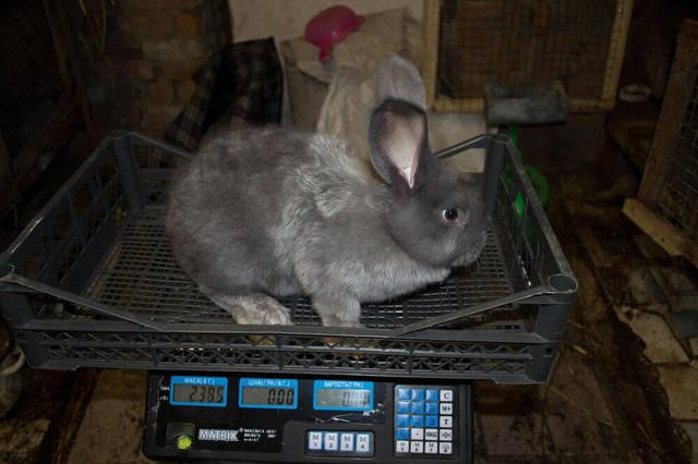 Разведение кроликов как бизнес: идея, бизнес план, видео
